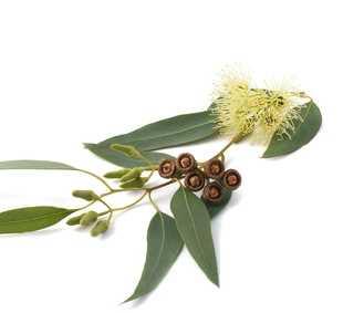 aetherisches oel eukalyptus chin liter flasche 2551. Black Bedroom Furniture Sets. Home Design Ideas